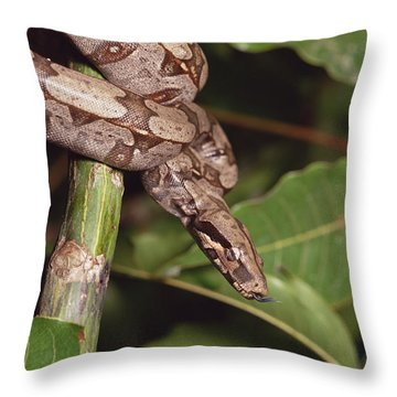 Boa Constrictor Coiled South America Throw Pillow by Gerry Ellis