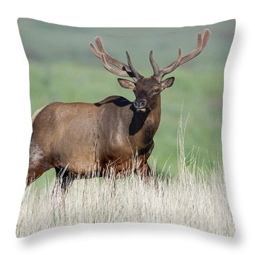 Throw Pillow featuring the photograph Bull Elk In Velvet by Jack Bell