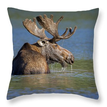 Throw Pillow featuring the photograph Bull Moose At Fishercap by Jack Bell