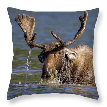 Bull Moose Sampling The Vegetation Throw Pillow