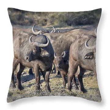 Cape Buffalo 1 Throw Pillow