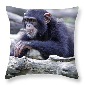 Chimpanzee Playing Throw Pillow by Shoal Hollingsworth