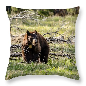 Throw Pillow featuring the photograph Black Bear In Cinnamon by Yeates Photography