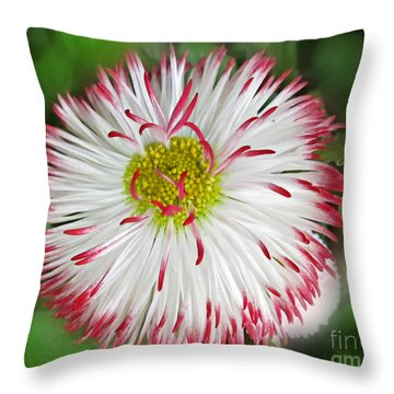 Closeup Of White And Pink Habenera English Daisy Flower Throw Pillow by Valerie Garner