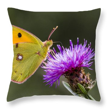 Clouded Yellow Butterfly Feeding Throw Pillow