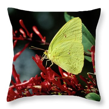 Sulfur Butterfly Throw Pillows