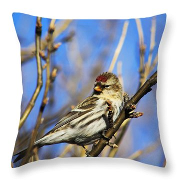 Common Redpoll Female Throw Pillow by Alyce Taylor