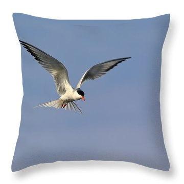 Common Tern Hovering Throw Pillow by Tony Beck