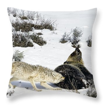 Throw Pillow featuring the photograph Coyote Biting A Grizzly by J L Woody Wooden