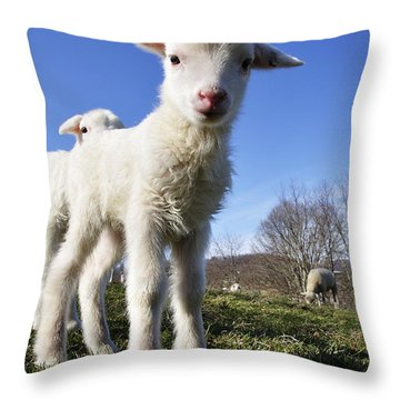 Curious Day Old Lambs Throw Pillow by Thomas R Fletcher