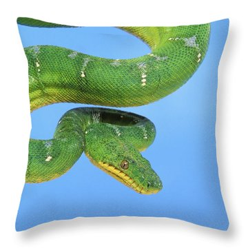 Emerald Tree Boa Corallus Caninus Throw Pillow by Thomas Kitchin & Victoria Hurst