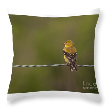 Female American Goldfinch Throw Pillow by Douglas Stucky