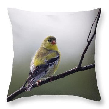Throw Pillow featuring the photograph Goldfinch Molting To Breeding Colors by Susan Capuano