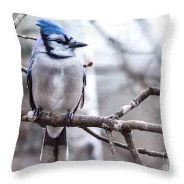 Gorgeous Blue Jay Throw Pillow by Cheryl Baxter