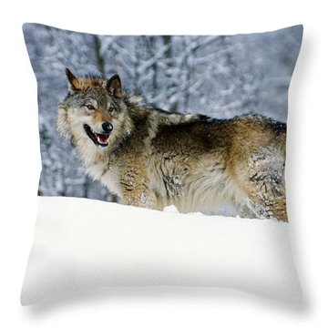 Gray Wolf In Snow, Montana, Usa Throw Pillow