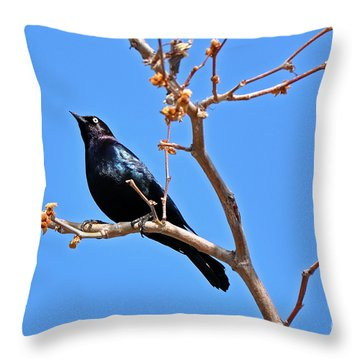 Great-tailed Grackle On A Sunny Spring Day Throw Pillow by Susan Wiedmann