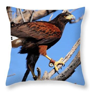 Harris's Hawk Throw Pillow by Bonnie Fink