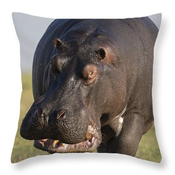 Hippopotamus Bull Charging Botswana Throw Pillow
