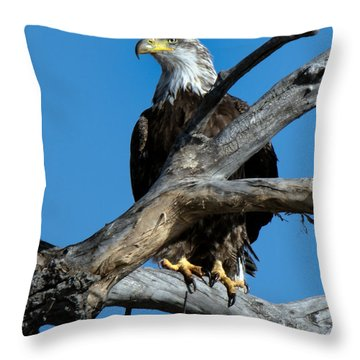 Immature Bald Eagle On Dead Branch Throw Pillow