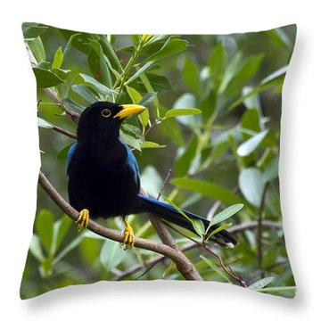 Immature Yucatan Jay Throw Pillow by Teresa Zieba