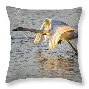 Juvenile Whooper Swan Taking Off Throw Pillow