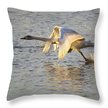 Juvenile Whooper Swan Taking Off Throw Pillow