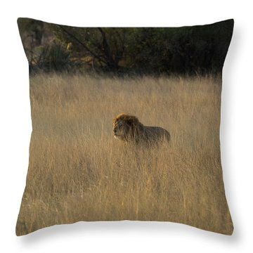 Lion Panthera Leo In Tall Grass That Throw Pillow