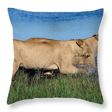 Lionesses Fleeing Into Water Throw Pillow