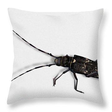 Long-hornded Wood Boring Beetle Monochamus Sartor - Coleoptere Monochame Tailleur - Throw Pillow