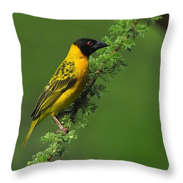 Male Black-headed Weaver Throw Pillow by Tony Beck