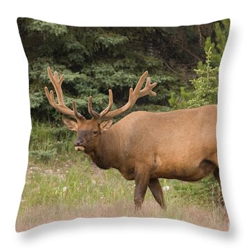 Throw Pillow featuring the photograph Male Elk In Velvet by Chris Scroggins