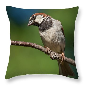 Male House Sparrow Perched In A Tree Throw Pillow by Jeff Goulden