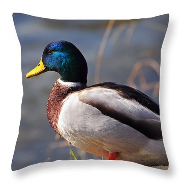Male Mallard Duck Throw Pillow by Susan Wiedmann