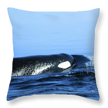 Throw Pillow featuring the photograph Male Orca Off The San Juan Islands Washington 1986 by California Views Mr Pat Hathaway Archives