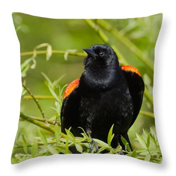 Male Redwing Blackbird Puffing Himself Up Throw Pillow by Gerda Grice