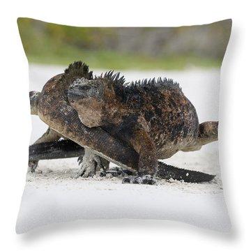 Marine Iguana Males Fighting Turtle Bay Throw Pillow