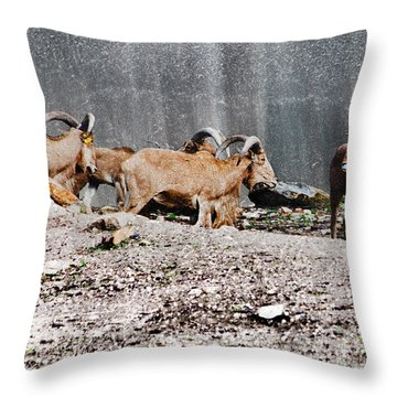 Meeting Of Barbary Sheep Throw Pillow