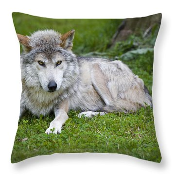 Mexican Gray Wolf Throw Pillow by Sebastian Musial