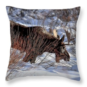 Moose At Sunset In Winter Throw Pillow by Yeates Photography