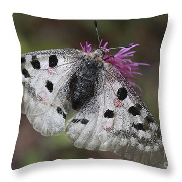 Mountain Apollo Parnassius Apollo Throw Pillow by Amos Dor