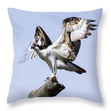 Osprey Pride 6 Throw Pillow by David Lester
