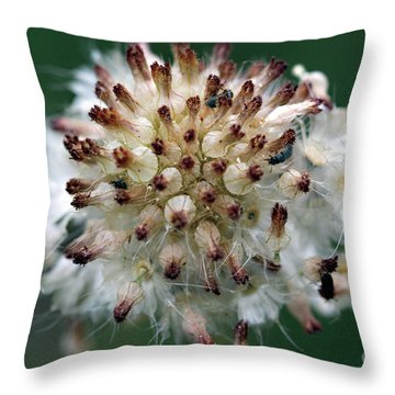 Pincushion Daisy Going To Seed Throw Pillow