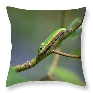 Pipevine Swallowtail Caterpillar Throw Pillow by Jodi Terracina