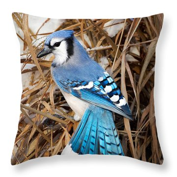 Portrait Of A Blue Jay Throw Pillow by Bill Wakeley
