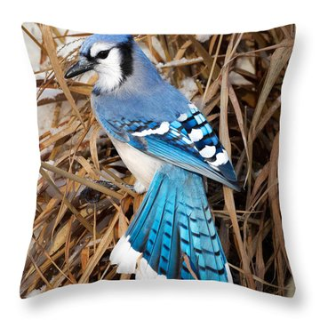Portrait Of A Blue Jay Square Throw Pillow by Bill Wakeley