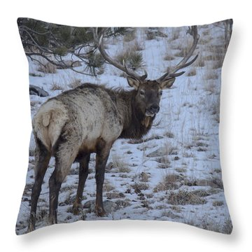 Elk Bull In Wind Cave National Park Throw Pillow