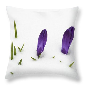 Purple Crocus In The White Snow - Spring Meets Winter Throw Pillow by Matthias Hauser