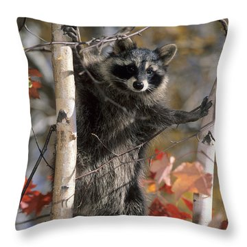 Throw Pillow featuring the photograph Racoon In Tree by Chris Scroggins