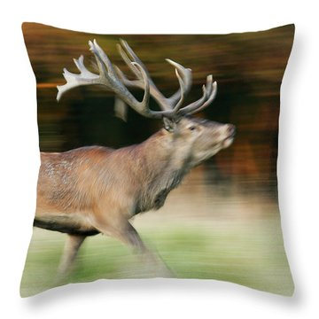 Red Deer Cervus Elaphus Stag Running Throw Pillow by Cyril Ruoso
