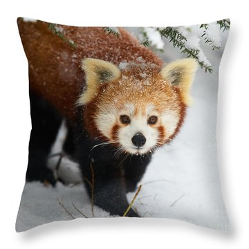 Red Panda In The Snow Throw Pillow by Nick  Biemans